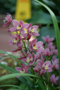 a picture of a cymbidium orchid