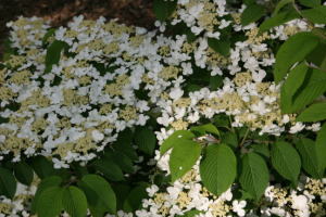 a picture of a doublefile viburnum in bloom