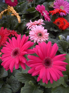 a picture of colorful gerbera daisies