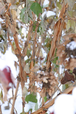 a picture of exfoliating bark on oakleaf hydrangea