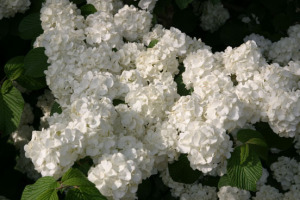 a picture of a Popcorn viburnum in bloom