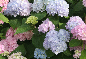 a photo of pink and blue blossoms on Endless Summer hydrangea