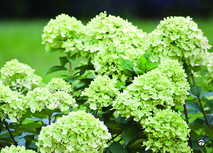 a photo of green flowers on 'Little Limelight' Hydrangea