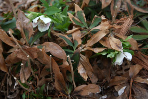 a picture showing winter leaf damage to hellebore