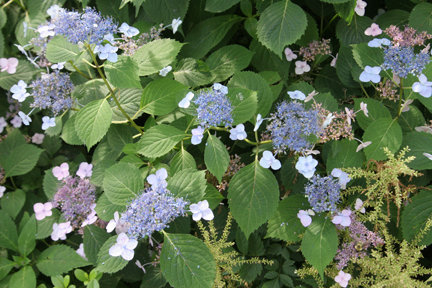 a photo of blue flowers on 'Blue Billows' lacecap hydrangea