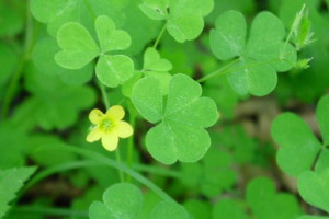 an image of Oxalis stricta with yellow flower