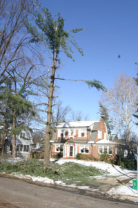a photo of extreme damage to a white pine from ice storm