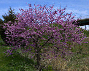 a picture of a redbud tree in bloom
