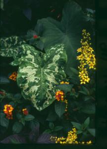 An image of Alocasia 'Hilo Beauty'