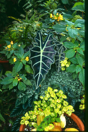 An image of Alocasia 'Purpley'