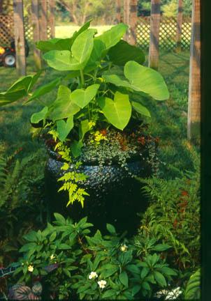a photo of Xanthosoma 'Lime Zinger'