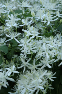 an image of autumn clematis