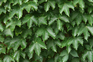 an image of Boston ivy