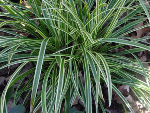 An image of carex 'Ice Dance'