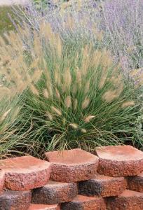 an image of fountain grass, Pennisetum 'Hameln'