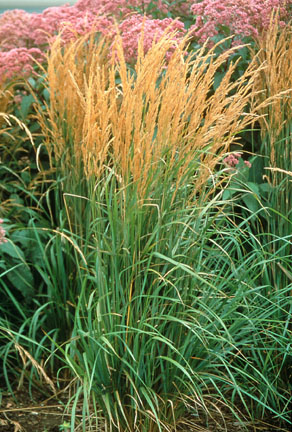 an image of feather reed grass 'Karl Foerster'