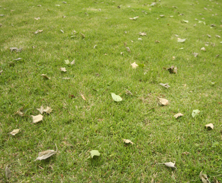 an image of sycamore leaves with anthracnose littering the ground