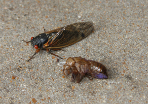 A photo of a 13-year cicada and exoskeleton