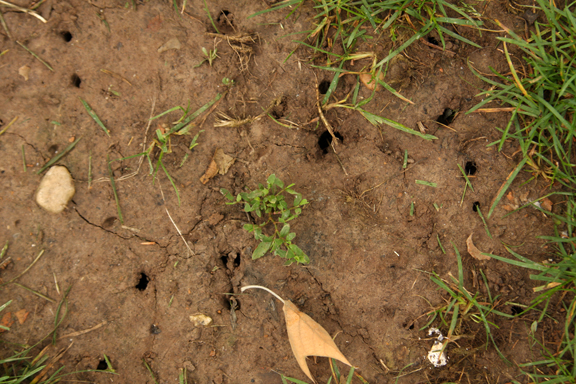 a photo of cicada emergence holes in the soil
