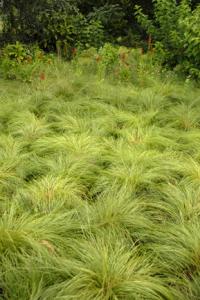 an image of Prairie Dropseed ornamental grass