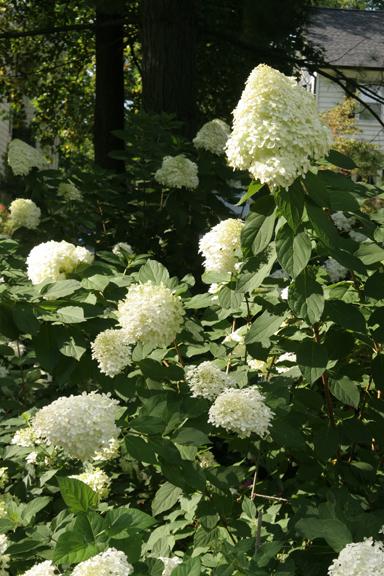 a photo of hydrangea 'Limelight'
