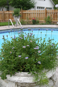 a photo of Blue Maurguerite in a poolside container planting