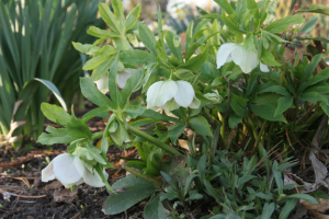 a photo of a white hellebore