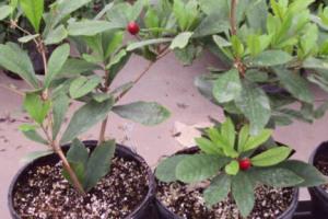 a photo of Miracle Fruit shrub