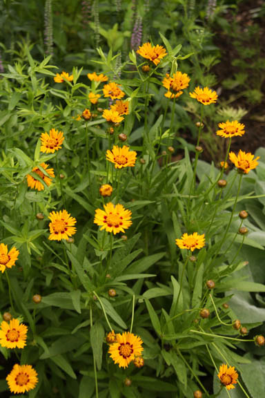 a picture of tickseed coreopsis