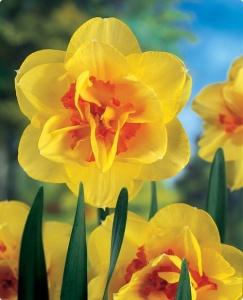 an image of 'Tahiti' daffodil