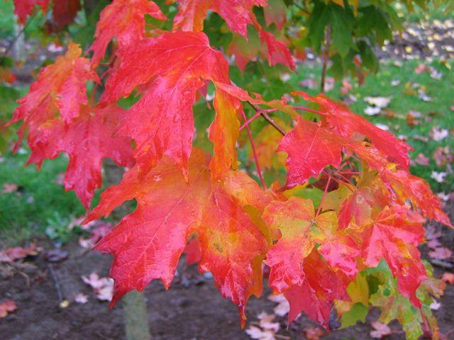 an image of Maple 'Flashfire'