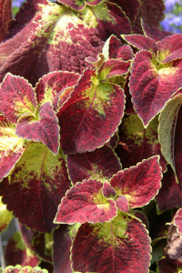 a picture of red and yellow coleus