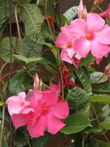 a photo of mandevilla blossoms