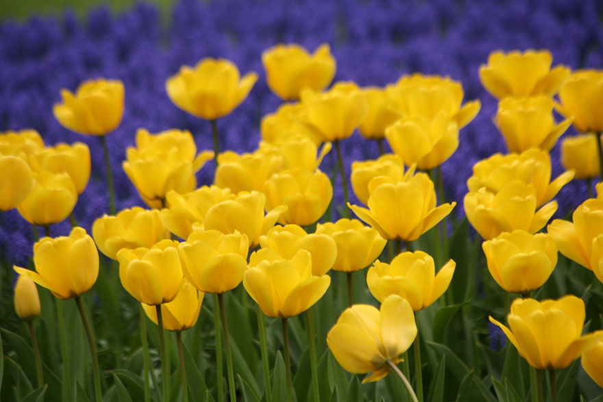 Tulipa 'Golden Apeldoorn', photo courtesy Brent and Becky's Bulbs