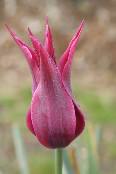 a close-up photograph of the tulip ;Maytime' in bloom