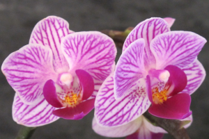 A photograph of a pink phalaenopsis orchid