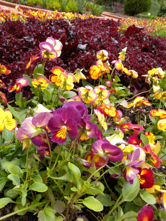 an image of pansies and lettuce in an edible landscape