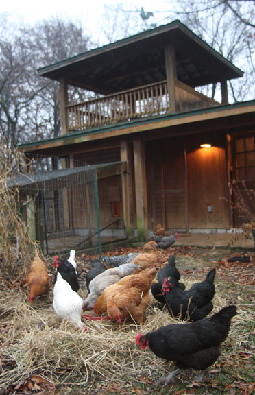 an image of backyard chickens and coop