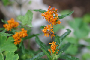 An image of butterfly milkweed