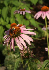An image of Purple Coneflower