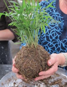 A photo of a kokedama planting