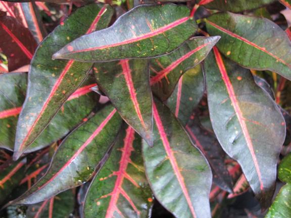 a photo of a croton plant