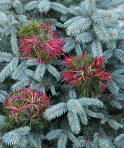 a photo of tillandsia balls decorating a blue spruce