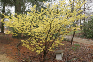A photo of the yellow-blooming witch hazel 'Arnold Promise'.