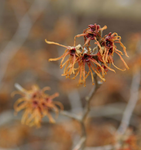 A photo of the bloom of witch hazel 'Jalena'
