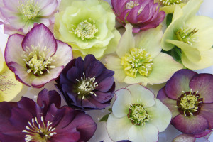 a photo of Helleborus Brandywine Mix