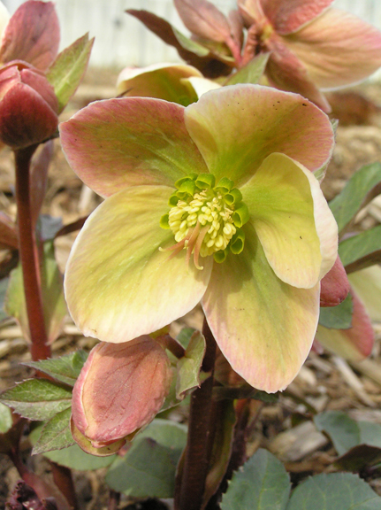 A photo of the blossoming lenten rose, Helleborus Ivory Prince