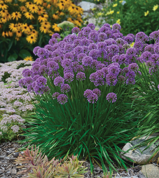 a photo of Allium Millennium