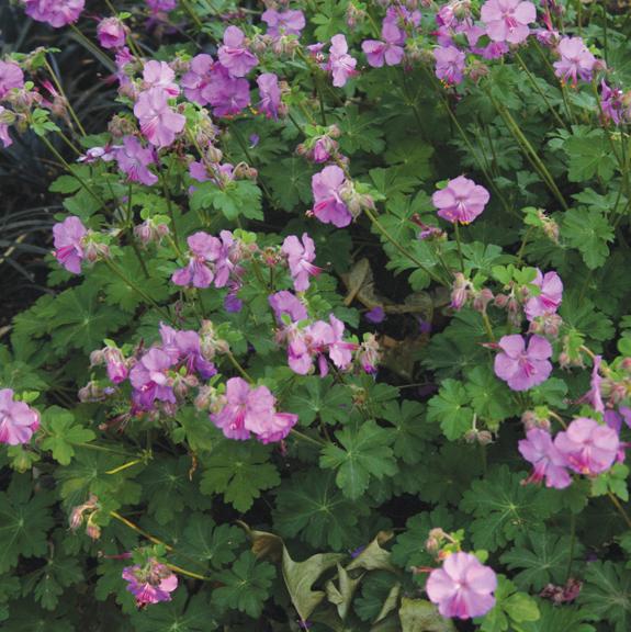 A photo of Geranium microrrhizzum 'Bevan's Variety'