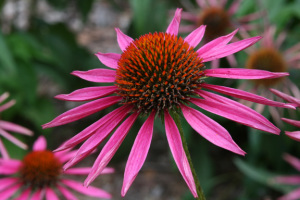 A photo of Echinacea 'Pica Bella' Coneflower